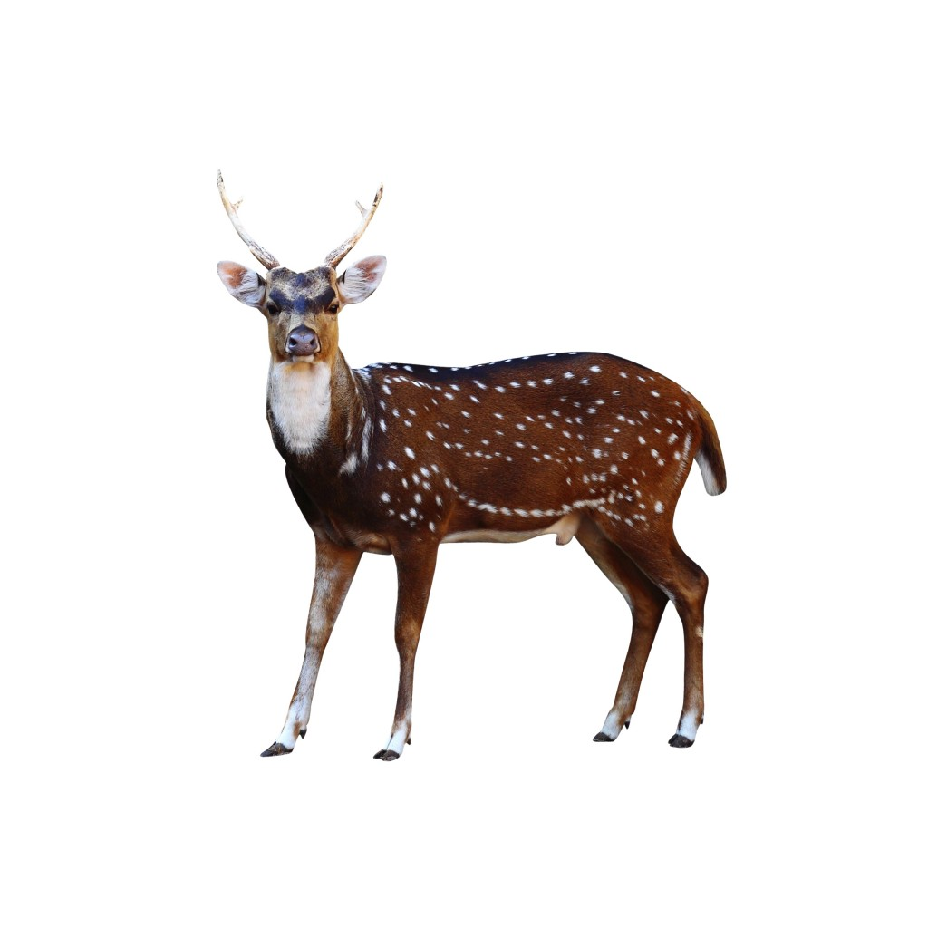 Axis deer on a white background
